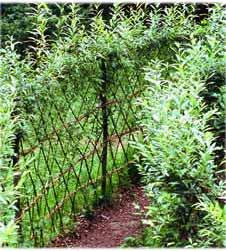 Ивовый кустарник как живая изгородь