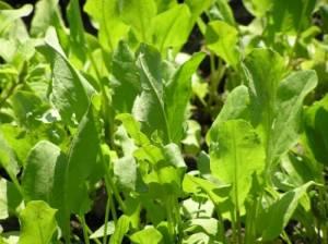 польза свежей зелени