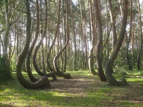 геопатогенная зона кривые деревья
